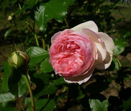R1 Eden Rose.jpg