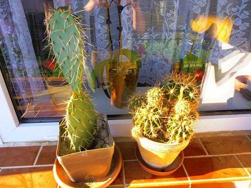 groups/kaktusy-a-sukulenty-picture117174-moji-dvaja-pichlavci.jpg