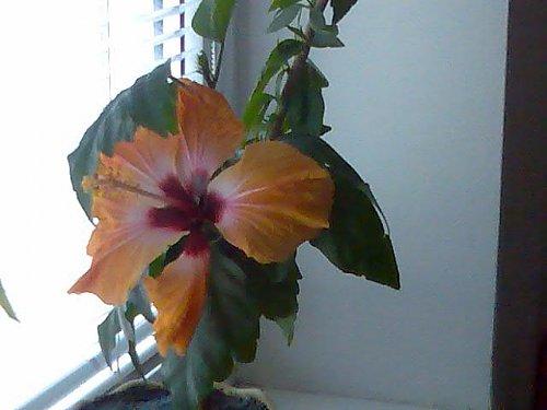 čínska ruža pomarančová.jpg