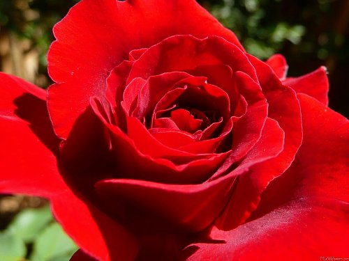 bright-red-rose.jpeg