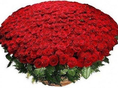 ruže najviac.jpg