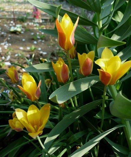Botanický tulipán Chrysantha.jpg